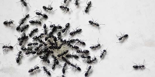 Karıncalardan Kurtulmanın Yolları 1